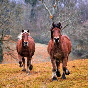 מחקר גנטי: סוסים מהירים הם התפתחות מאוחרת