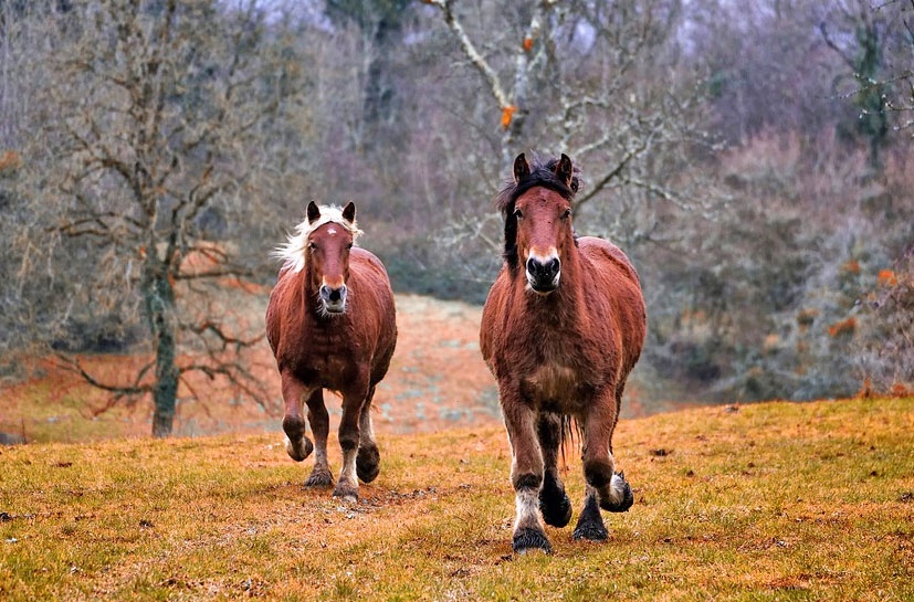אבולוציה סוסים מהירים גנטיקה