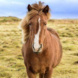 סוסים מסטולים באיסלנד