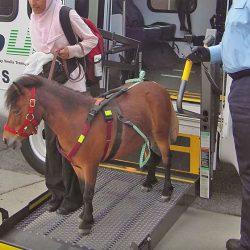 איך זה לטוס עם סוס מיניאטורי?
