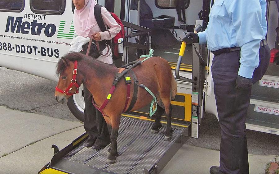 סוסה מיניאטורית - סוסת נחייה