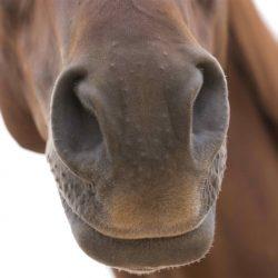 האם סוסים יכולים להריח פחד או שמחה אנושיים?