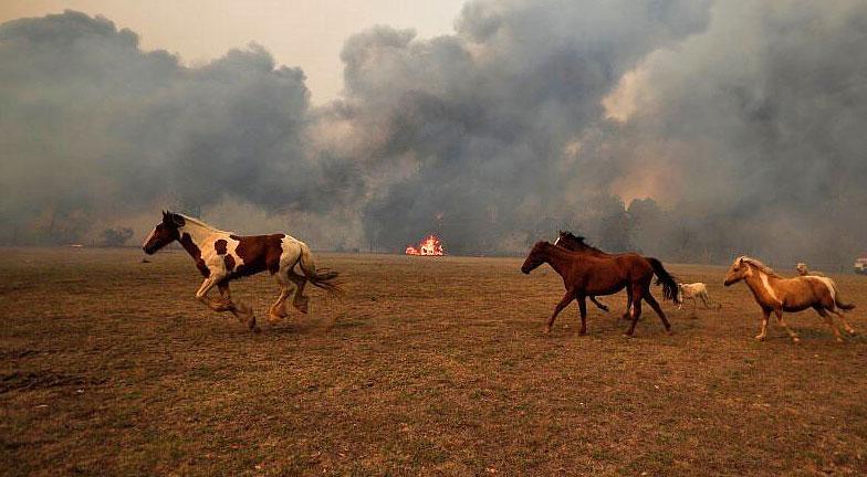 סוסים בשריפות באוסטרליה