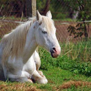 שינה איכותית חיונית לבריאותם של סוסים – מחקר