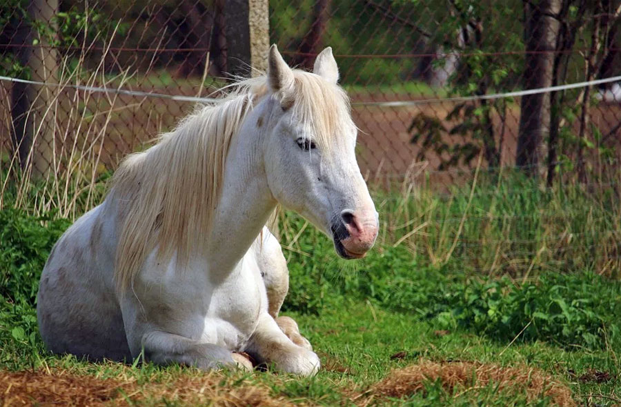 סוסים שינה