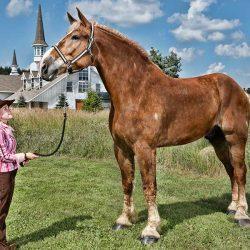 הסוסים הכי גדולים בעולם