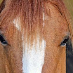 מחקר: סוסים מזהים תמונות של הבעלים והמטפלים בהם