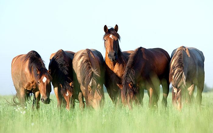 סוסים במרעה